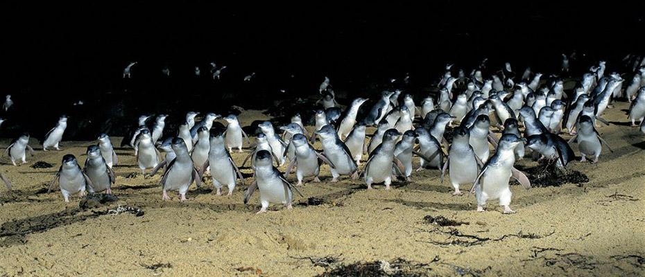 菲利普島套票,菲利普島門票,企鵝島門票
