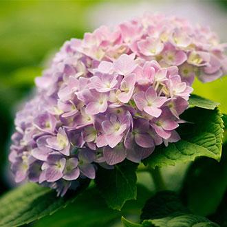 為了紫陽花,你要再來一次日本!